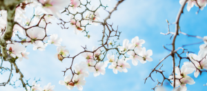 white and pink blossoms against a blue sky